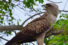 Tawny eagle in tree.jpg