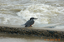 giant kingfisher.jpg