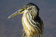 green backed heron.jpg