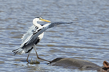 grey heron on hippo.jpg