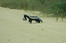 female honey badger moving baby.jpg