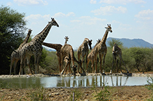 giraffe at waterhole L R.jpg