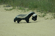 honey badger with baby LR.jpg