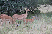 impala in breeding season.jpg
