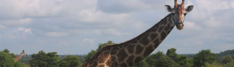 Giraffe are often sighted on wildlife safari at Madikwe Game Reserve