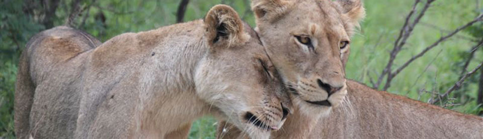 Kruger Park safaris gets you up-close to 2 female lions