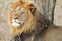 Go on a wildlife tour to see a Male Lion - your first step to seeing the Big 5