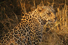 Go on a wildlife tour to see Leopard - Private lodge in Kruger Park Safari